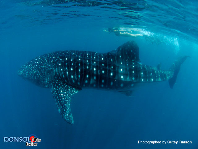 Donsol Whale Shark